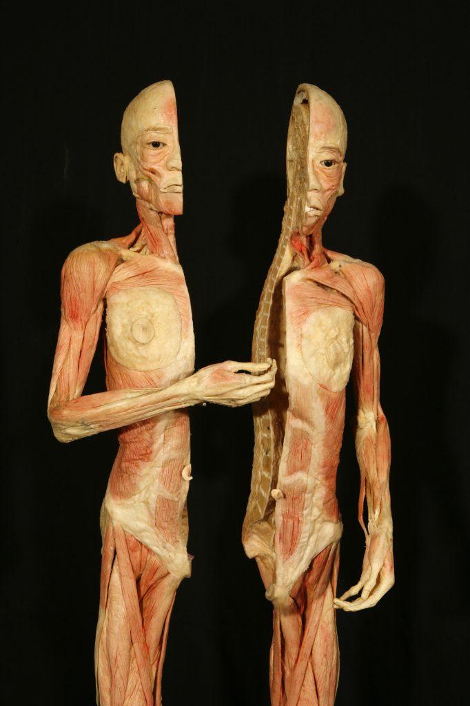 Exposição Human Bodies mostra o corpo por dentro - © Musealia Entertainment, SL