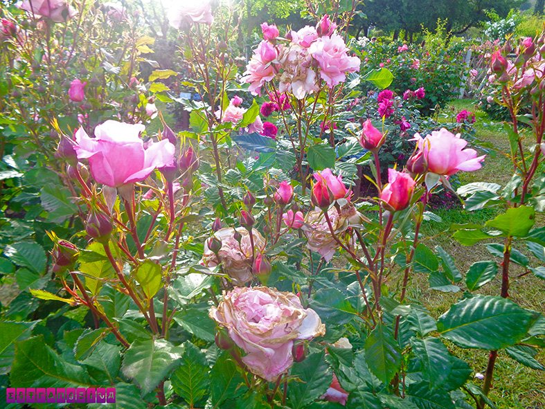 parque-cervantes-rosas