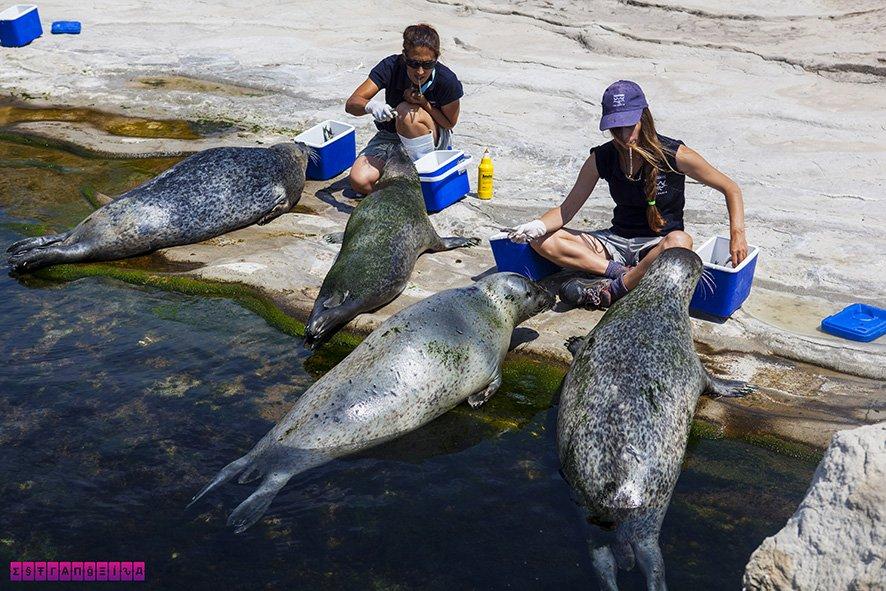 As focas sendo alimentadas no Oceanografic