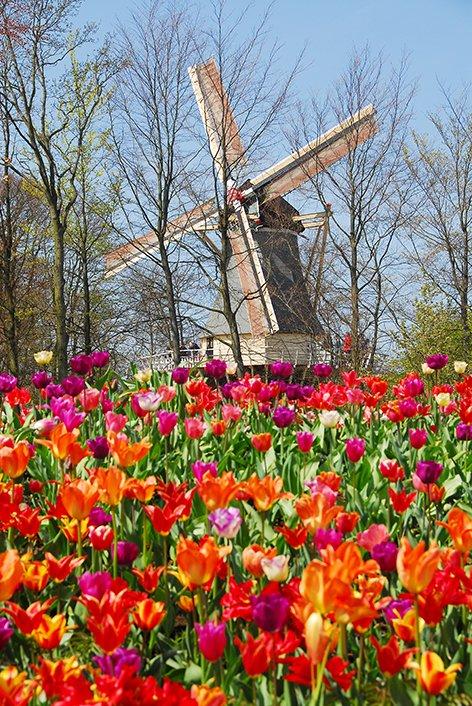 keukenhof-amsterdam-tulipas-moinho