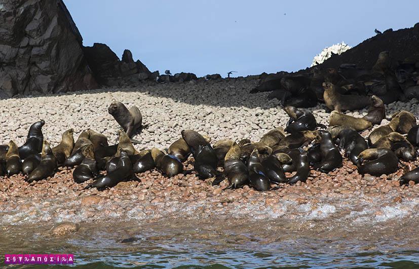 o-que-fazer-em-paracas-peru-olhas-ballestas-leao-marinho